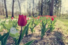 Cute bunny toy hidding among tulips. Royalty Free Stock Images