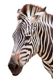 Cute burchell zebra head on white Stock Photos