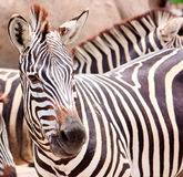 Cute burchell zebra from a safari zoo Stock Image