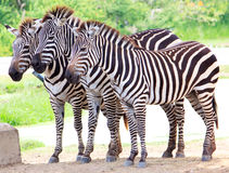 Cute burchell zebra from a safari zoo Royalty Free Stock Photo