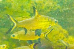 Cute burnt-tailed barb fish (Balantiocheilos ambusticauda), also Stock Image