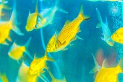 Cute burnt-tailed barb fish (Balantiocheilos ambusticauda), also Royalty Free Stock Photos
