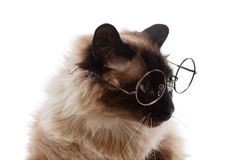 Cute business clever cat with glasses, Balinese on white Royalty Free Stock Photos