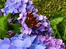 Cute butterfly with spreaded wings on hydrangea flowers royalty free stock image