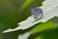 A cute butterfly. This butterfly is very cute and small ,its white wings is decorated with black spots royalty free stock photography