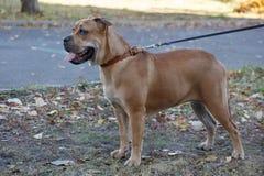 Cute ca de bou puppy with black mask is standing on a autumn meadow. Majorca mastiff or majorcan bulldog. Pet animals. stock photos
