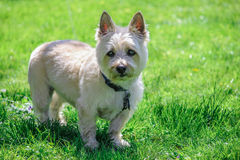 Cute Cairn Terrier Dog. Dog standing alone on all four legs looking straight at camera with ears perked up.  Wearing a collar and leash.  Green grassy lawn as Stock Image