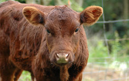 Cute calf. A young brown little dairy cow head portrait with cute expression in the face watching other cows on a paddock of a farm Stock Photography