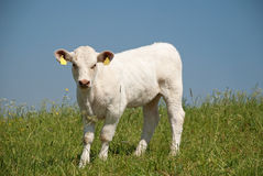 Cute calf Stock Photos