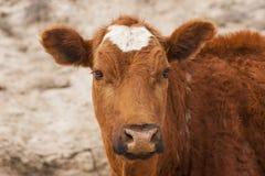 Cute Calf. Calf in frontal in horizontal format Royalty Free Stock Photo
