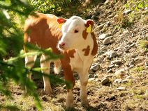 Cute calf. Cute little brown and white calf Royalty Free Stock Image