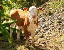 Cute calf. Cute little brown and white calf Stock Image