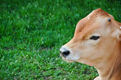 Cute Calf Stock Images