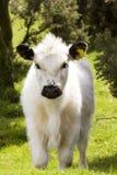 Cute calf Stock Images
