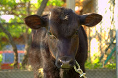 Cute calf closeup Stock Photos