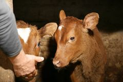Cute calf in cowshed. Licking male hand Stock Photography