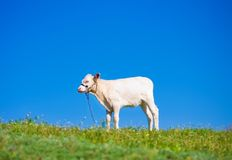 Cute calf Royalty Free Stock Photography