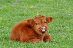 Cute calf of highland cattle Stock Images