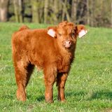 Cute calf of highland cattle Royalty Free Stock Photo