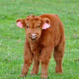Cute calf of highland cattle Royalty Free Stock Image