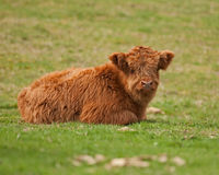 Cute calf of highland cattle lying down Royalty Free Stock Photography
