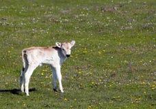 Cute calf on pasture Stock Photo