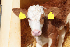 Cute Calf. Picture of a nine day old little cow in Bavaria Royalty Free Stock Photo