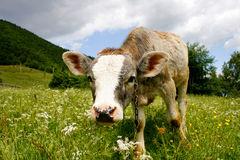 Cute calf standing on green field. Scattered with wild flowers Stock Photography