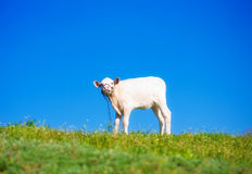 Cute calf. On a summer meadow Royalty Free Stock Photo