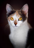 Cute calico cat. In attention royalty free stock photos