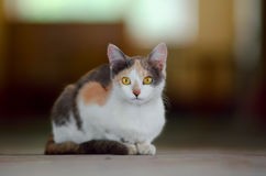 Cute calico cat. In attention stock image