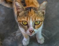 Cute calico cat. Posing for the camera royalty free stock images
