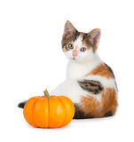 Cute calico kitten with mini pumpkin on white. Royalty Free Stock Image