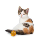 Cute calico kitten sitting next to a toy on a white background. Royalty Free Stock Image