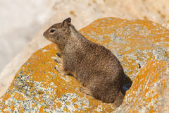 Cute California Ground Squirrel Royalty Free Stock Image