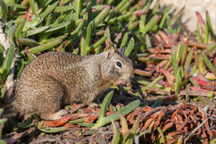 Cute California Ground Squirrel Eating Royalty Free Stock Image