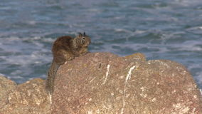 Cute California Ground Squirrel stock video