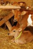 Cute calves Stock Photos