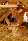Cute calves. Jersey calves at their straw feeder, Westland, New Zealand Stock Photos