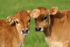 Cute calves Stock Photography
