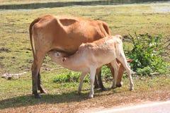 Cute calves fed milk cows Stock Image