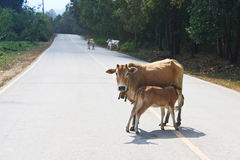 Cute calves fed milk cows Royalty Free Stock Image