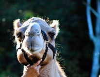 Cute camel Royalty Free Stock Image
