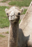 Cute camel Stock Images