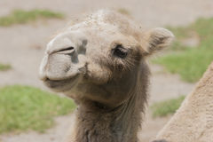 Cute camel Stock Image