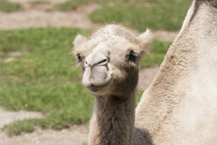 Cute camel Stock Photography