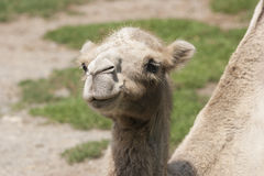 Cute camel Royalty Free Stock Photo