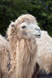 Cute camel portrait. Close-up of a funny camel head Royalty Free Stock Photos