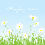Cute camomile floral background Stock Photos