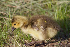 Cute Canada goose chick Royalty Free Stock Image